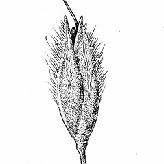 Spikelets: Alopecurus pratensis. ~ By Elizabeth Farnsworth. ~ Copyright © 2018 New England Wild Flower Society. ~ Image Request, images[at]newenglandwild.org