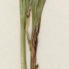 Stems and sheaths: Alopecurus pratensis. ~ By CONN Herbarium. ~ Copyright © 2019 CONN Herbarium. ~ Requests for image use not currently accepted by copyright holder ~ U. of Connecticut Herbarium - bgbaseserver.eeb.uconn.edu/