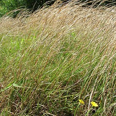 Plant form: Andropogon virginicus. ~ By Forest & Kim Starr. ~ Copyright © 2019 CC BY-NC 3.0. ~  ~ Bugwood - www.bugwood.org/