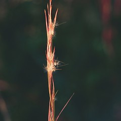Inflorescences: Andropogon virginicus. ~ By James Miller. ~ Copyright © 2018 CC BY-NC 3.0. ~  ~ Bugwood - www.bugwood.org/