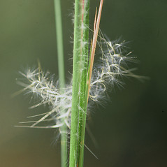 Inflorescences: Andropogon virginicus. ~ By James Miller. ~ Copyright © 2019 CC BY-NC 3.0. ~  ~ Bugwood - www.bugwood.org/