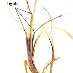 Ligules: Anthoxanthum monticola. ~ By William and Linda Steere and the C.V. Starr Virtual Herbarium. ~ Copyright © 2019 William and Linda Steere and the C.V. Starr Virtual Herbarium. ~ Barbara Thiers, Director; bthiers[at]nybg.org ~ C.V. Starr Herbarium - NY Botanical Gardens