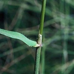 Stems and sheaths: Anthoxanthum odoratum. ~ By Joseph DiTomaso. ~ Copyright © 2018 CC BY-NC 3.0. ~  ~ Bugwood - www.bugwood.org/