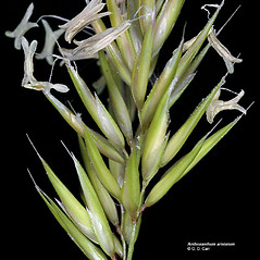 Spikelets: Anthoxanthum ovatum. ~ By Gerry Carr. ~ Copyright © 2017 Gerry Carr. ~ gdcarr[at]comcast.net ~ Oregon Flora Image Project - www.botany.hawaii.edu/faculty/carr/ofp/ofp_index.htm