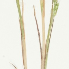 Stems and sheaths: Apera interrupta. ~ By William and Linda Steere and the C.V. Starr Virtual Herbarium. ~ Copyright © 2018 William and Linda Steere and the C.V. Starr Virtual Herbarium. ~ Barbara Thiers, Director; bthiers[at]nybg.org ~ C.V. Starr Herbarium - NY Botanical Gardens