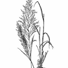 Plant form: Apera spica-venti. ~ By Agnes Chase. ~  Public Domain. ~ None needed ~ A.S. Hitchcock. 1950. Manual of Grasses of the United States (2nd edition rev. Agnes Chase), USDA Misc. Pub. 200