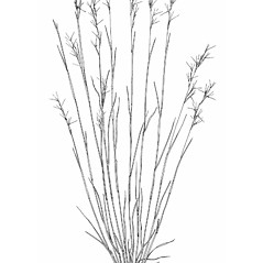 Plant form: Aristida basiramea. ~ By Mary Barkworth. ~ Copyright © 2017 Mary Barkworth. ~ Mary.Barkworth[at]usu.edu ~ Manual of Grasses for North America