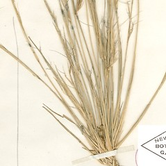 Leaves: Aristida basiramea. ~ By William and Linda Steere and the C.V. Starr Virtual Herbarium. ~ Copyright © 2019 William and Linda Steere and the C.V. Starr Virtual Herbarium. ~ Barbara Thiers, Director; bthiers[at]nybg.org ~ C.V. Starr Herbarium - NY Botanical Gardens