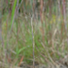 Spikelets: Aristida basiramea. ~ By Arthur Haines. ~ Copyright © 2019. ~ arthurhaines[at]wildblue.net