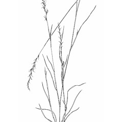 Plant form: Aristida dichotoma. ~ By Mary Barkworth. ~ Copyright © 2018 Mary Barkworth. ~ Mary.Barkworth[at]usu.edu ~ Manual of Grasses for North America