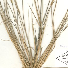Leaves: Aristida dichotoma. ~ By William and Linda Steere and the C.V. Starr Virtual Herbarium. ~ Copyright © 2019 William and Linda Steere and the C.V. Starr Virtual Herbarium. ~ Barbara Thiers, Director; bthiers[at]nybg.org ~ C.V. Starr Herbarium - NY Botanical Gardens
