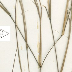 Stems and sheaths: Aristida dichotoma. ~ By William and Linda Steere and the C.V. Starr Virtual Herbarium. ~ Copyright © 2018 William and Linda Steere and the C.V. Starr Virtual Herbarium. ~ Barbara Thiers, Director; bthiers[at]nybg.org ~ C.V. Starr Herbarium - NY Botanical Gardens