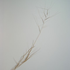 Plant form: Aristida oligantha. ~ By Donald Cameron. ~ Copyright © 2017 Donald Cameron. ~ No permission needed for non-commercial uses, with proper credit