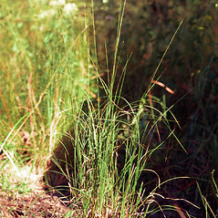 Plant form: Aristida purpurascens. ~ By Ted Bodner. ~ Copyright © 2017 CC BY-NC 3.0. ~  ~ Bugwood - www.bugwood.org/