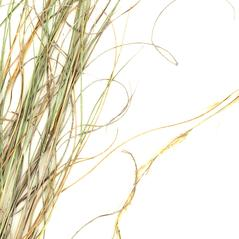 Leaves: Aristida purpurea. ~ By William and Linda Steere and the C.V. Starr Virtual Herbarium. ~ Copyright © 2019 William and Linda Steere and the C.V. Starr Virtual Herbarium. ~ Barbara Thiers, Director; bthiers[at]nybg.org ~ C.V. Starr Herbarium - NY Botanical Gardens