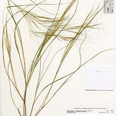 Plant form: Aristida tuberculosa. ~ By The Herbarium of The Morton Arboretum (MOR). ~ Copyright © 2018 The Morton Arboretum. ~ Ed Hedborn, The Morton Arboretum ~ The Herbarium of The Morton Arboretum