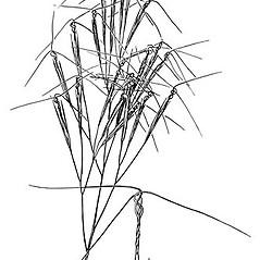 Inflorescences: Aristida tuberculosa. ~ By Elsie Froeschner. ~ Copyright © 2018 Ellen L. Froeschner. ~ Ellen L. Froeschner, 1939-A Frankin Blvd., Carmel Indiana 46032 ~ Ada Hayden Herbarium - Iowa State U.