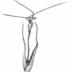Spikelets: Aristida tuberculosa. ~ By Elizabeth Farnsworth. ~ Copyright © 2019 New England Wild Flower Society. ~ Image Request, images[at]newenglandwild.org