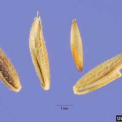 Spikelets: Arthraxon hispidus. ~ By Steve Hurst. ~  Public Domain. ~  ~ USDA-NRCS Plants Database - plants.usda.gov/java/