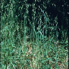 Plant form: Avena fatua. ~ By Mark Renz. ~ Copyright © 2018 Mark Renz. ~ mrenz[at]wisc.edu ~ Robert W. Freckmann Herbarium, U. of Wisconsin-Stevens Point