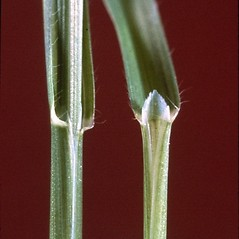 Ligules: Avena fatua. ~ By Mark Renz. ~ Copyright © 2019 Mark Renz. ~ mrenz[at]wisc.edu ~ Robert W. Freckmann Herbarium, U. of Wisconsin-Stevens Point