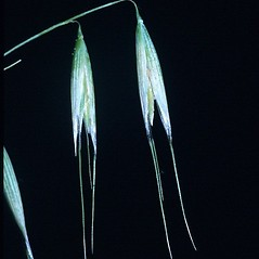 Spikelets: Avena fatua. ~ By Mark Renz. ~ Copyright © 2018 Mark Renz. ~ mrenz[at]wisc.edu ~ Robert W. Freckmann Herbarium, U. of Wisconsin-Stevens Point