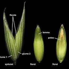 Spikelets: Avena sativa. ~ By Anna Gardner. ~ Copyright © 2019. ~ dlewis[at]ias.edu ~ Ada Hayden Herbarium - Iowa State U.