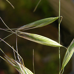 Spikelets: Avena strigosa. ~ By Jens Christian Schou. ~ Copyright © 2019 CC-BY-NC. ~  ~ Encyclopedia of Life - www.eol.org