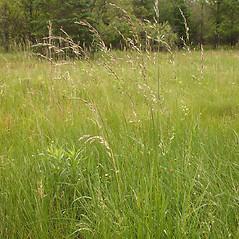 Plant form: Avenula pubescens. ~ By Steve Garske. ~ Copyright © 2018 Steve Garske. ~ asimina[at]alphacomm.net