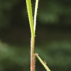 Stems and sheaths: Avenula pubescens. ~ By Steve Garske. ~ Copyright © 2019 Steve Garske. ~ asimina[at]alphacomm.net