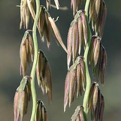 Spikelets: Bouteloua curtipendula. ~ By Keir Morse. ~ Copyright © 2019 Keir Morse. ~ www.keiriosity.com ~ www.keiriosity.com