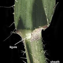 Ligules: Bouteloua curtipendula. ~ By Anna Gardner. ~ Copyright © 2017. ~ dlewis[at]ias.edu ~ Ada Hayden Herbarium - Iowa State U.