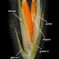 Spikelets: Bouteloua curtipendula. ~ By Anna Gardner. ~ Copyright © 2017. ~ dlewis[at]ias.edu ~ Ada Hayden Herbarium - Iowa State U.