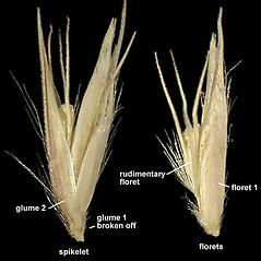 Spikelets: Bouteloua gracilis. ~ By Anna Gardner. ~ Copyright © 2017. ~ dlewis[at]ias.edu ~ Ada Hayden Herbarium - Iowa State U.