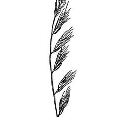Inflorescences: Bouteloua repens. ~ By USDA-NRCS PLANTS Database. ~  Public Domain. ~ None needed ~ USDA-NRCS Plants Database - plants.usda.gov/java/
