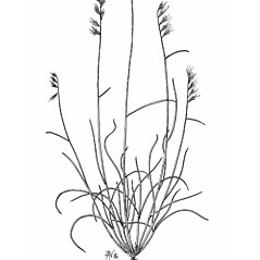 Plant form: Bouteloua rigidiseta. ~ By Mary Barkworth. ~ Copyright © 2018 Mary Barkworth. ~ Mary.Barkworth[at]usu.edu ~ Manual of Grasses for North America