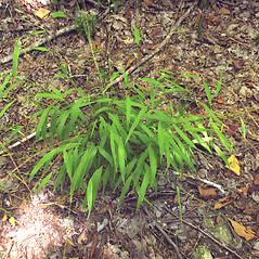 Plant form: Brachyelytrum aristosum. ~ By Marilee Lovit. ~ Copyright © 2018 Marilee Lovit. ~ lovitm[at]gmail.com
