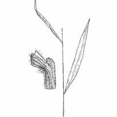 Stems and sheaths: Brachyelytrum erectum. ~ By Southern Illinois University Press. ~ Copyright © 2017 Southern Illinois University Press. ~ Requests for image use not currently accepted by copyright holder ~ The Illustrated Flora of Illinois: Flowering Plants, Grasses: Bromus to Paspalum by Robert H. Mohlenbrock ; Mirian Wysong Meyer and Dr. Kenneth Lewis Weik, Illustrators, Southern Illinois U. Press © 1972 by the Board of Trustees, Southern Illinois U.