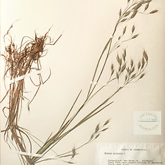 Plant form: Bromus arvensis. ~ By New England Botanical Club. ~ Copyright © 2019 New England Botanical Club. ~ No permission needed for non-commercial uses, with proper credit