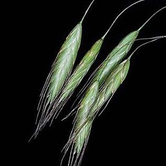 Spikelets: Bromus arvensis. ~ By Joseph DiTomaso. ~ Copyright © 2019 CC BY-NC 3.0. ~  ~ Bugwood - www.bugwood.org/