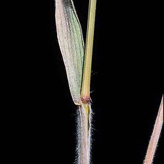 Ligules: Bromus briziformis. ~ By Joseph DiTomaso. ~ Copyright © 2017 CC BY-NC 3.0. ~  ~ Bugwood - www.bugwood.org/
