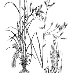 Plant form: Bromus commutatus. ~ By Regina O. Hughes. ~  Public Domain. ~  ~ Reed, C.F. 1970. Selected weeds of the United States. USDA Agric. Res. Ser. Agric. Handbook 336