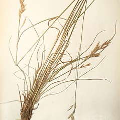 Plant form: Bromus erectus. ~ By New England Botanical Club. ~ Copyright © 2019 New England Botanical Club. ~ No permission needed for non-commercial uses, with proper credit
