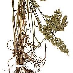 Plant form: Bromus hordeaceus. ~ By Anna Gardner. ~ Copyright © 2017. ~ dlewis[at]ias.edu ~ Ada Hayden Herbarium - Iowa State U.