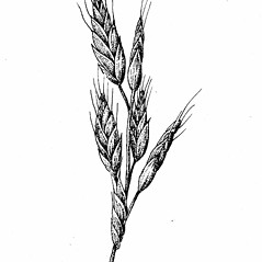 Inflorescences: Bromus hordeaceus. ~ By Elizabeth Farnsworth. ~ Copyright © 2018 New England Wild Flower Society. ~ Image Request, images[at]newenglandwild.org