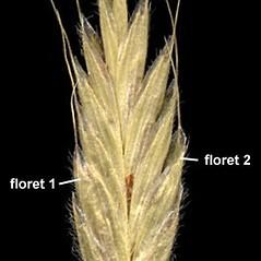 Spikelets: Bromus hordeaceus. ~ By Anna Gardner. ~ Copyright © 2017. ~ dlewis[at]ias.edu ~ Ada Hayden Herbarium - Iowa State U.