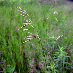 Inflorescences: Bromus inermis. ~ By Arthur Haines. ~ Copyright © 2018. ~ arthurhaines[at]wildblue.net