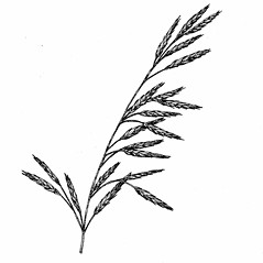 Inflorescences: Bromus inermis. ~ By Elizabeth Farnsworth. ~ Copyright © 2019 New England Wild Flower Society. ~ Image Request, images[at]newenglandwild.org