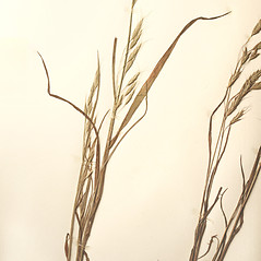 Plant form: Bromus japonicus. ~ By New England Botanical Club. ~ Copyright © 2017 New England Botanical Club. ~ No permission needed for non-commercial uses, with proper credit