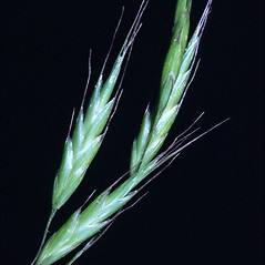 Inflorescences: Bromus japonicus. ~ By Mark Renz. ~ Copyright © 2019 Mark Renz. ~ mrenz[at]wisc.edu ~ Robert W. Freckmann Herbarium, U. of Wisconsin-Stevens Point